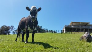 Ange is our oldest cow, cut, sometimes cuddly, but a bit shy