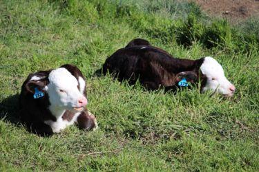 Pukeatua: Our bobby calves